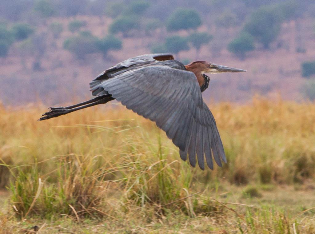 Goliath heron in flight