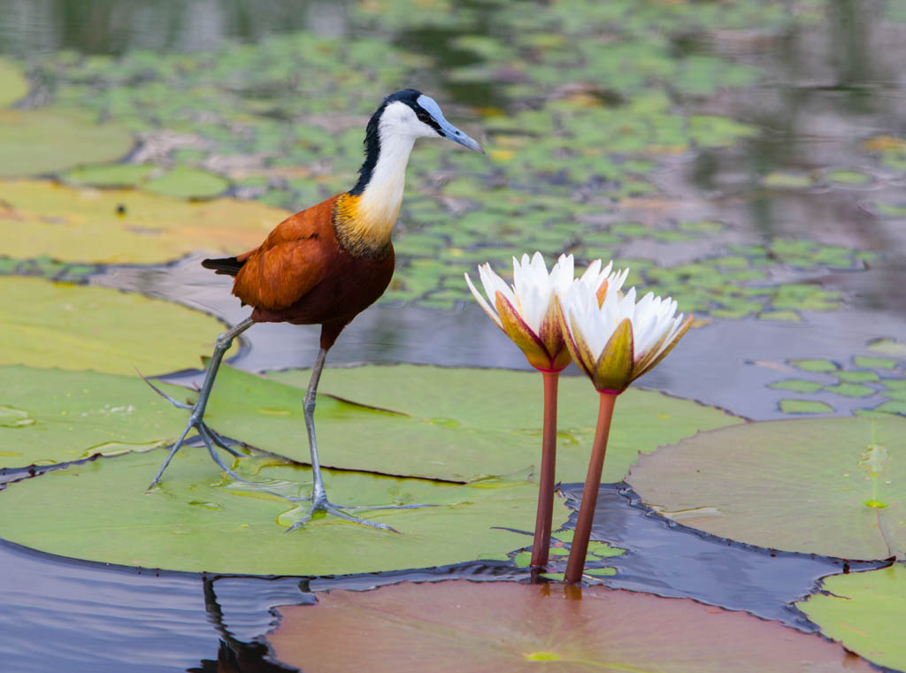 African Jacana walking across lillypad toward two white flowers