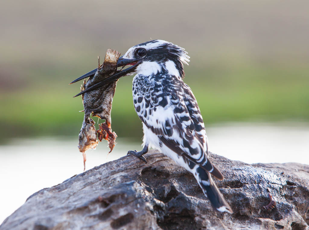 Pied Kingfisher with dead fish in his mouth
