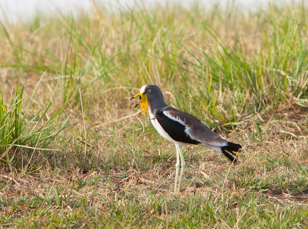 White crowned lapwing standing in the grass