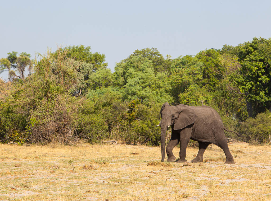 Elephant walking in the open with trees in the background
