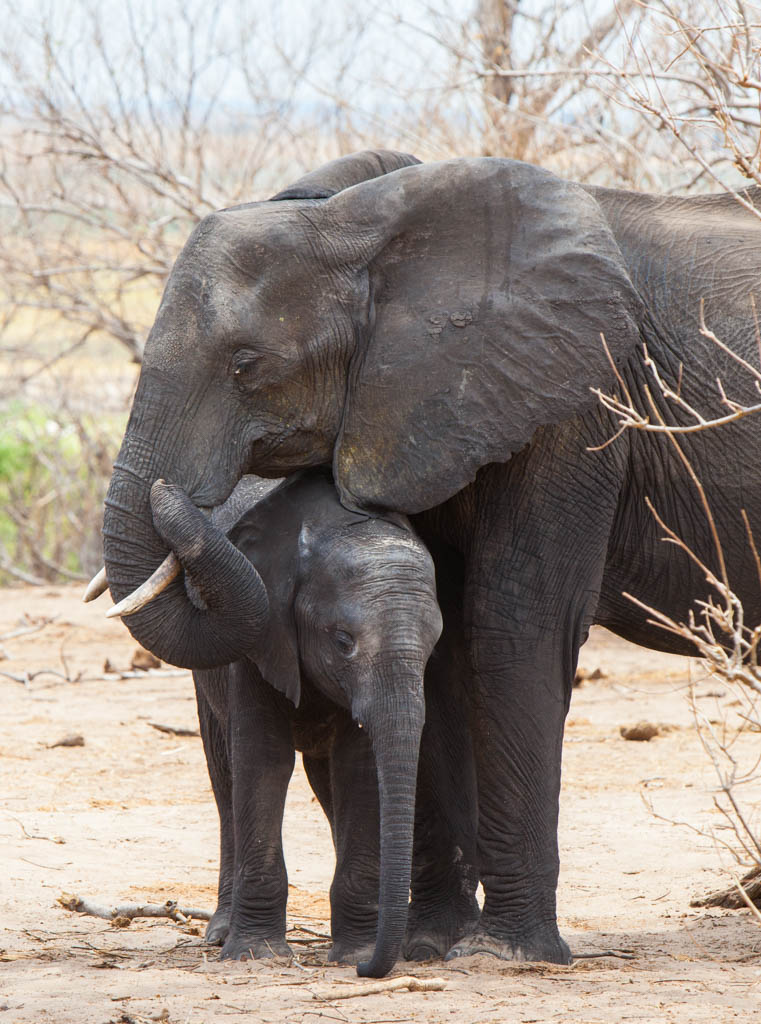 Mama and baby elephant standing in Chobe National Park