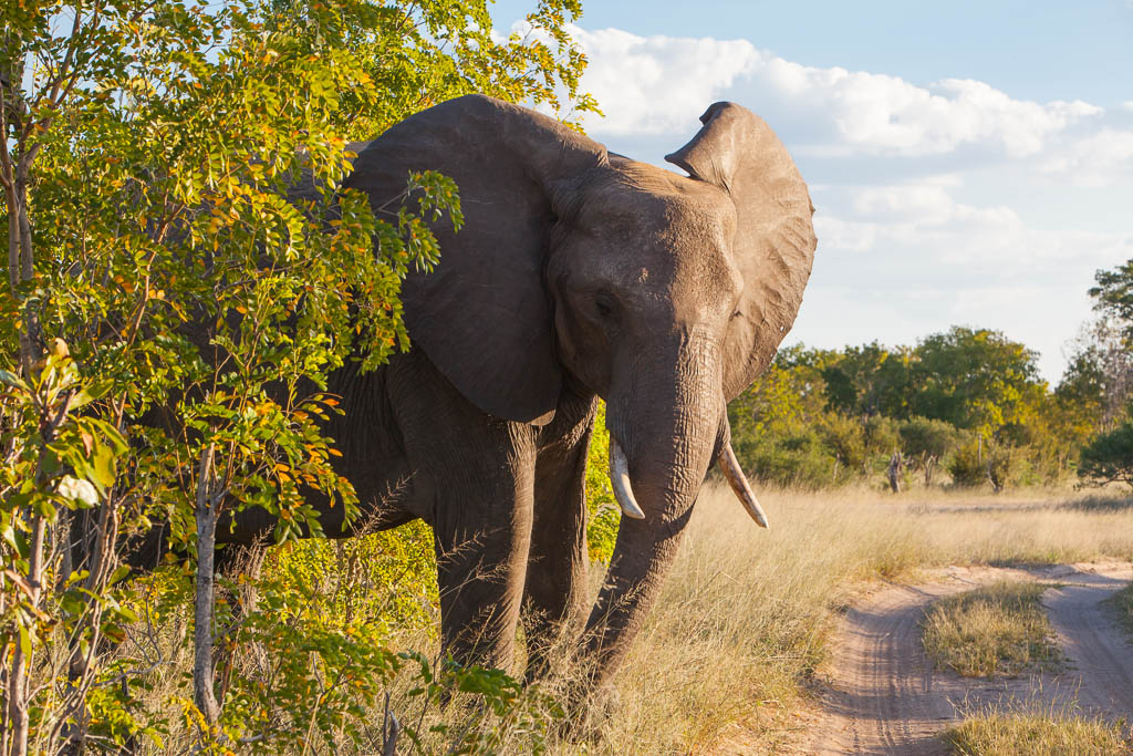 Close up of African elephant on safari