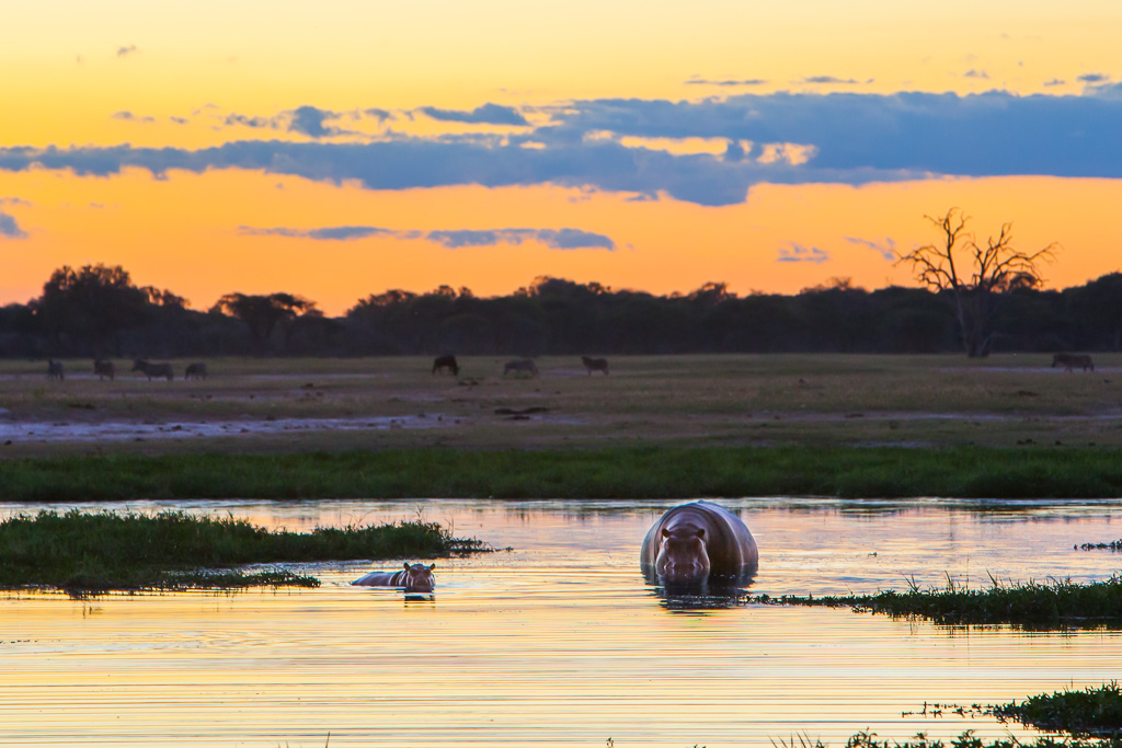 Hippos in water on African safari at dusk with animals grazing in background
