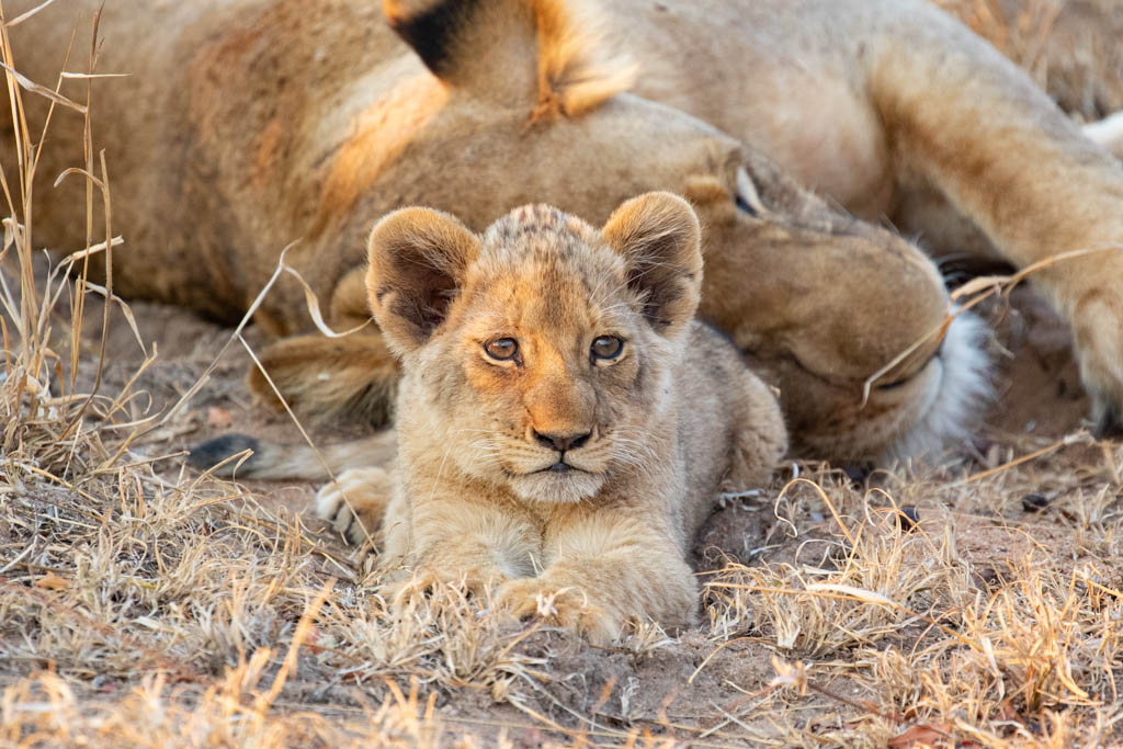 Close up of lion cub in front of large female lion on African safari