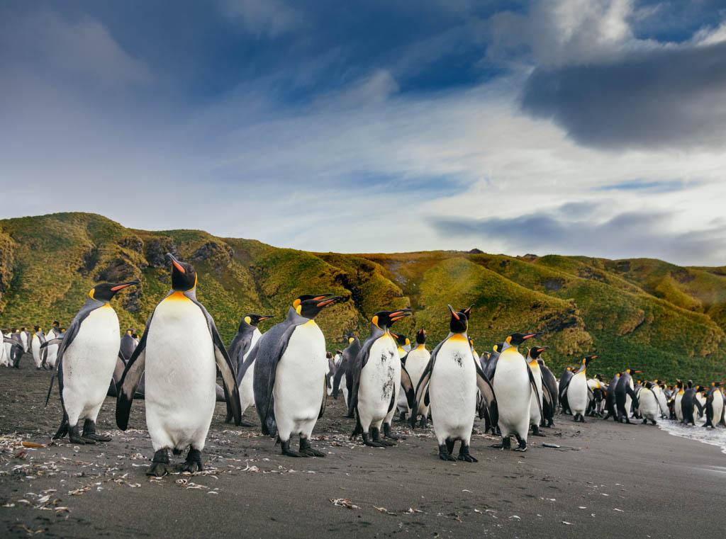 Group of emperor penguins