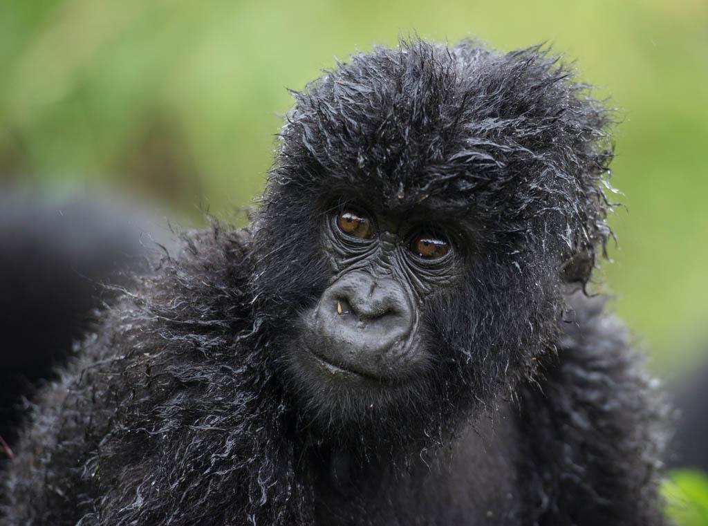 Close up of baby gorilla on safari
