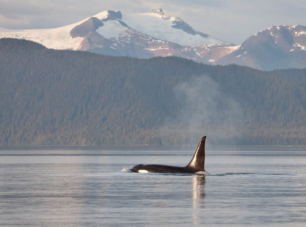 Orca coming up for air with mountains in background