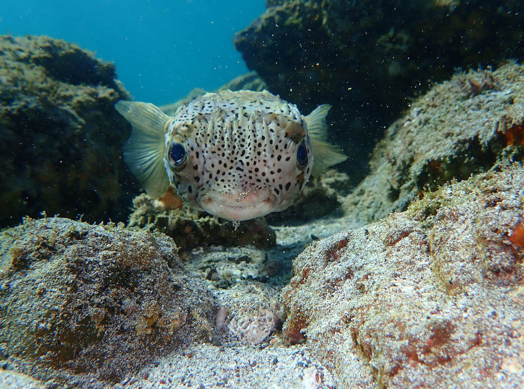 Underwater shot of pufferfish