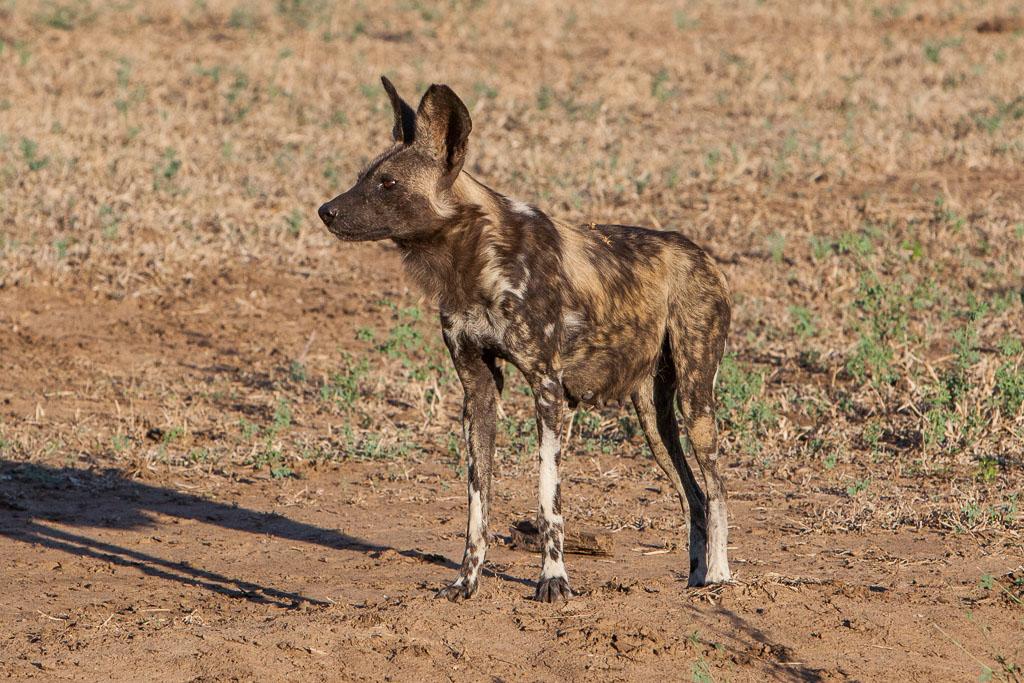 Close up of wild dog in Zimbabwe
