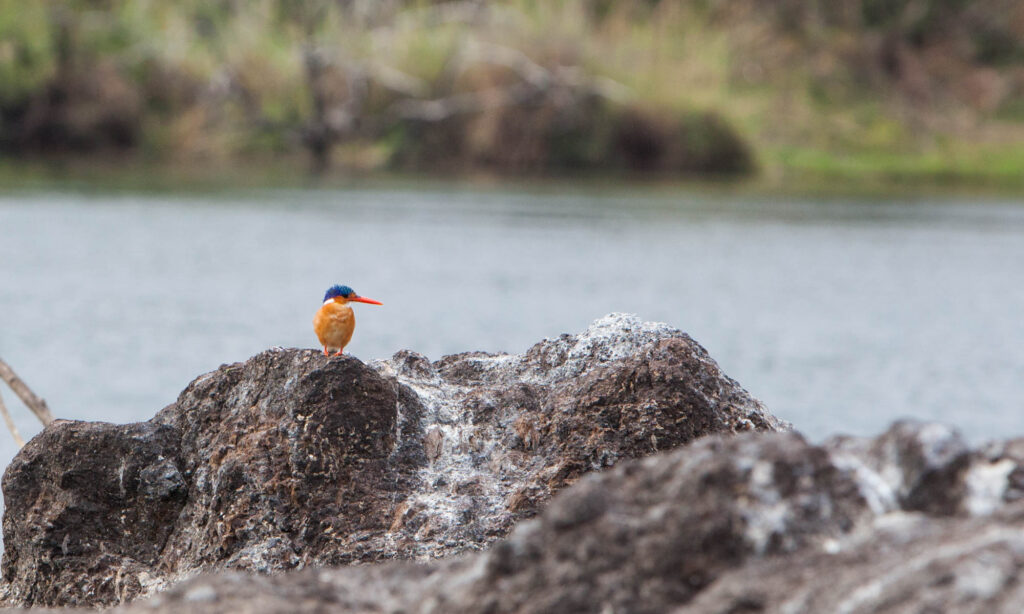 Colourful Malachite Kingfisher on a rock
