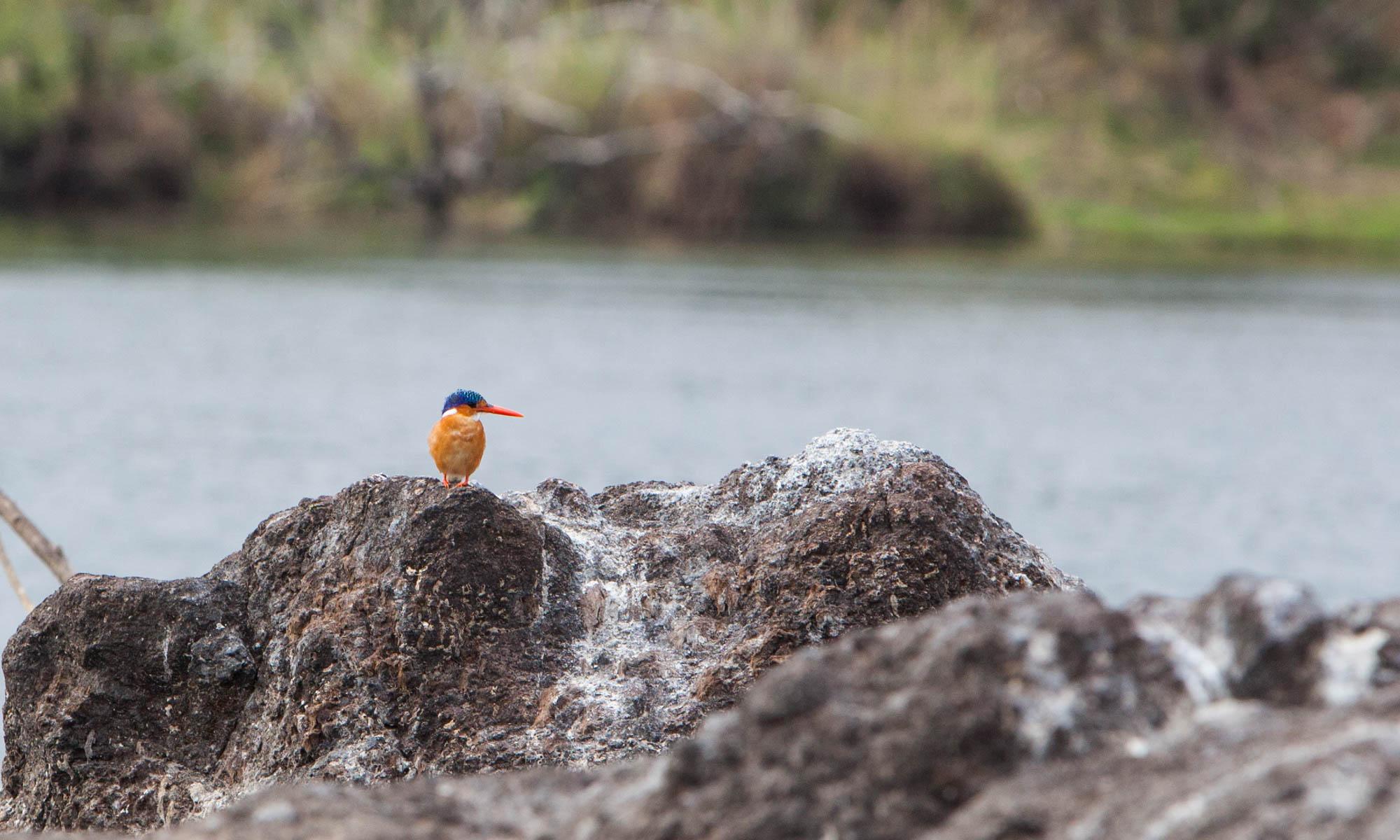 Colourful Malachite Kingfisher on a rock