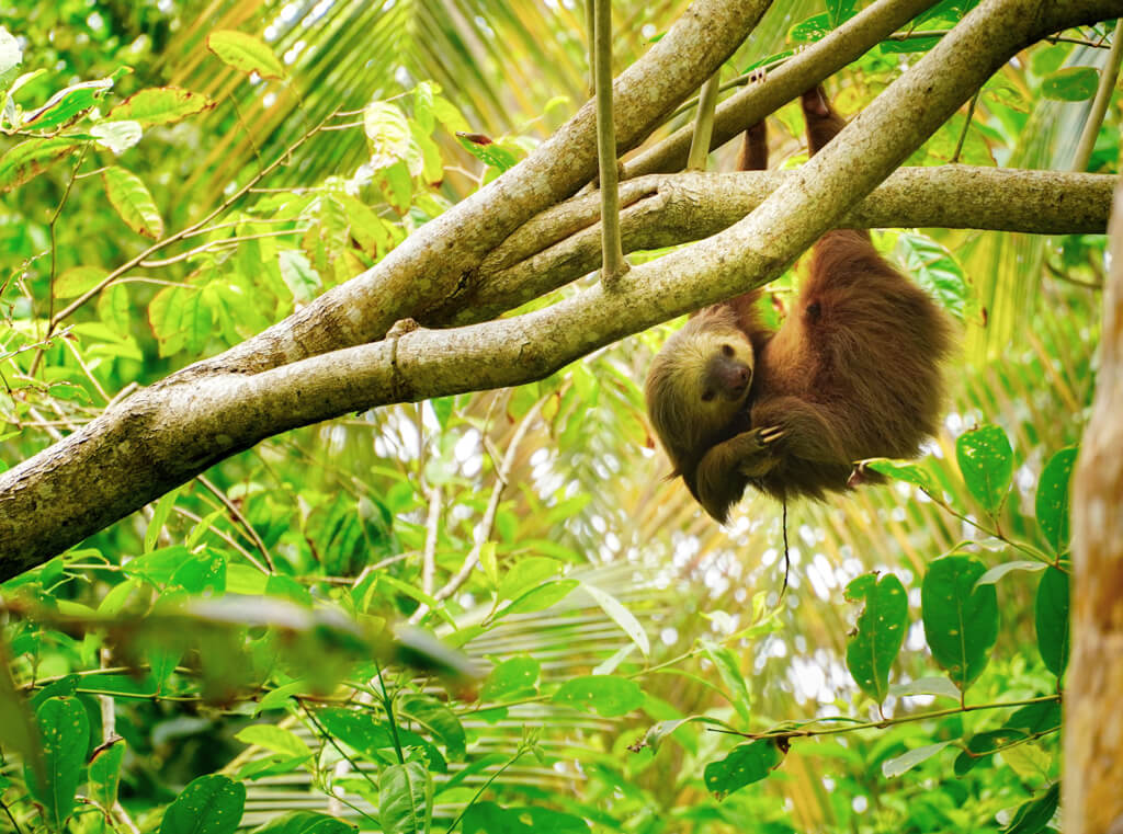 sloth hanging from a tree, surrounded by greenery