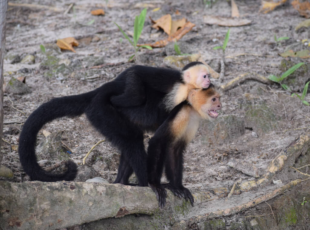 baby monkey on another monkeys back, both are black with beige faces