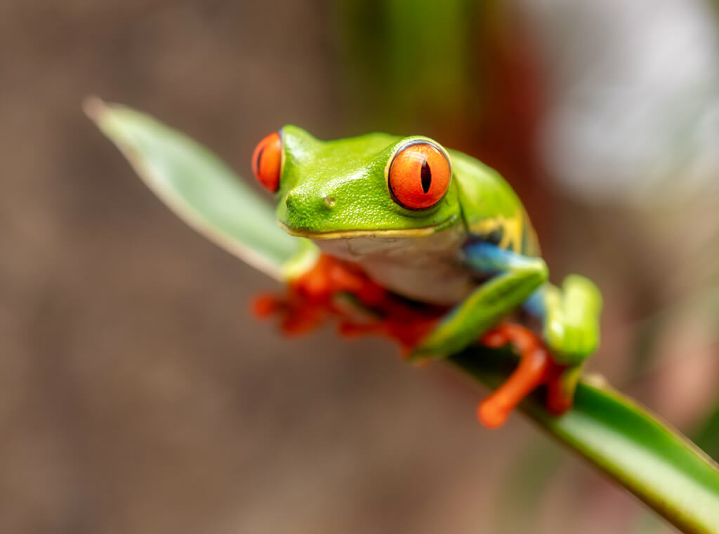 close up of green frog with large red eyes and feet