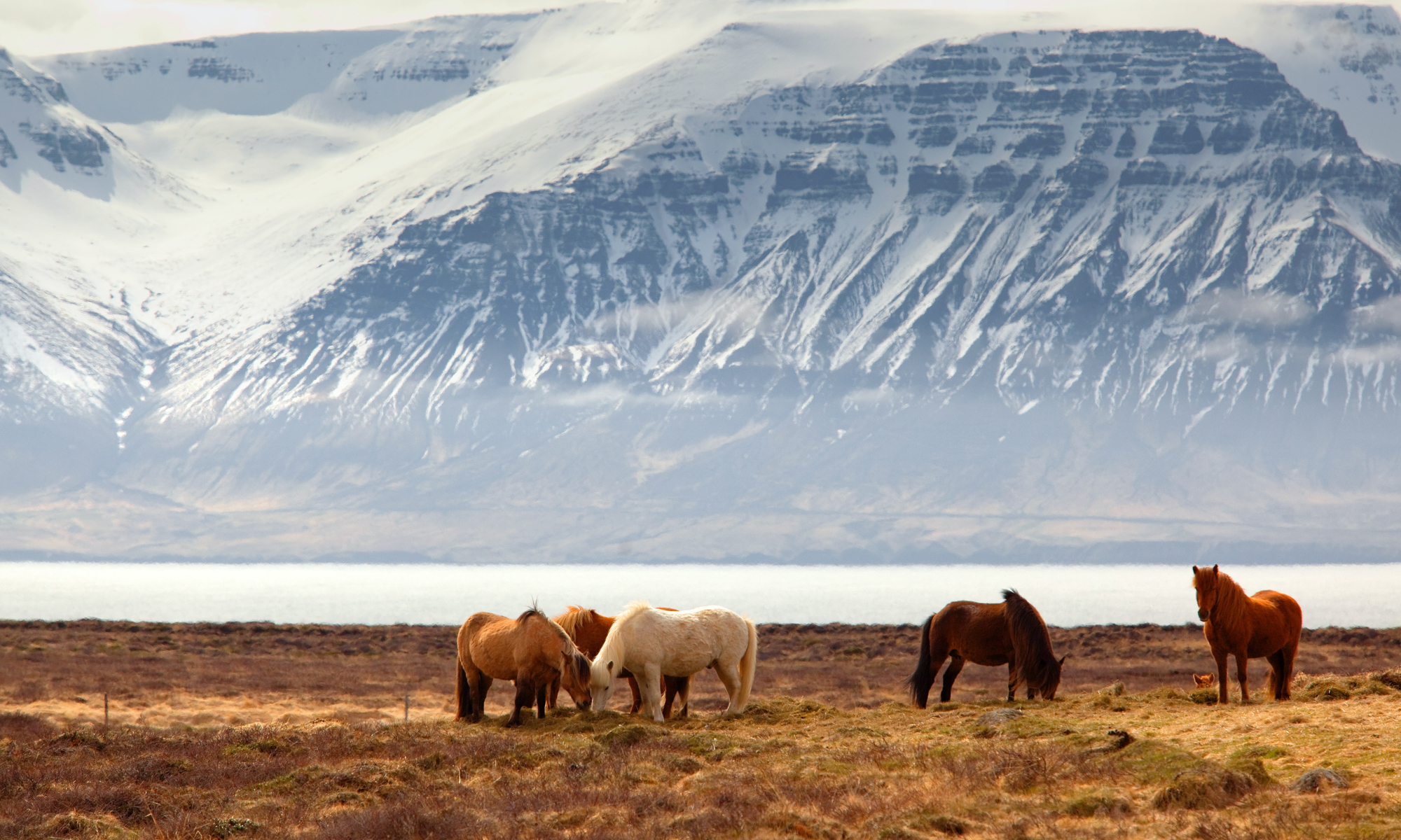Five Icelandic horses grazing at the base of a snowy mountain