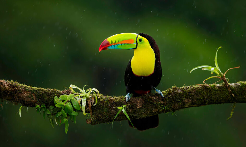 black bird with yellow chest and large colorful beak sitting on a tree branch in the rain