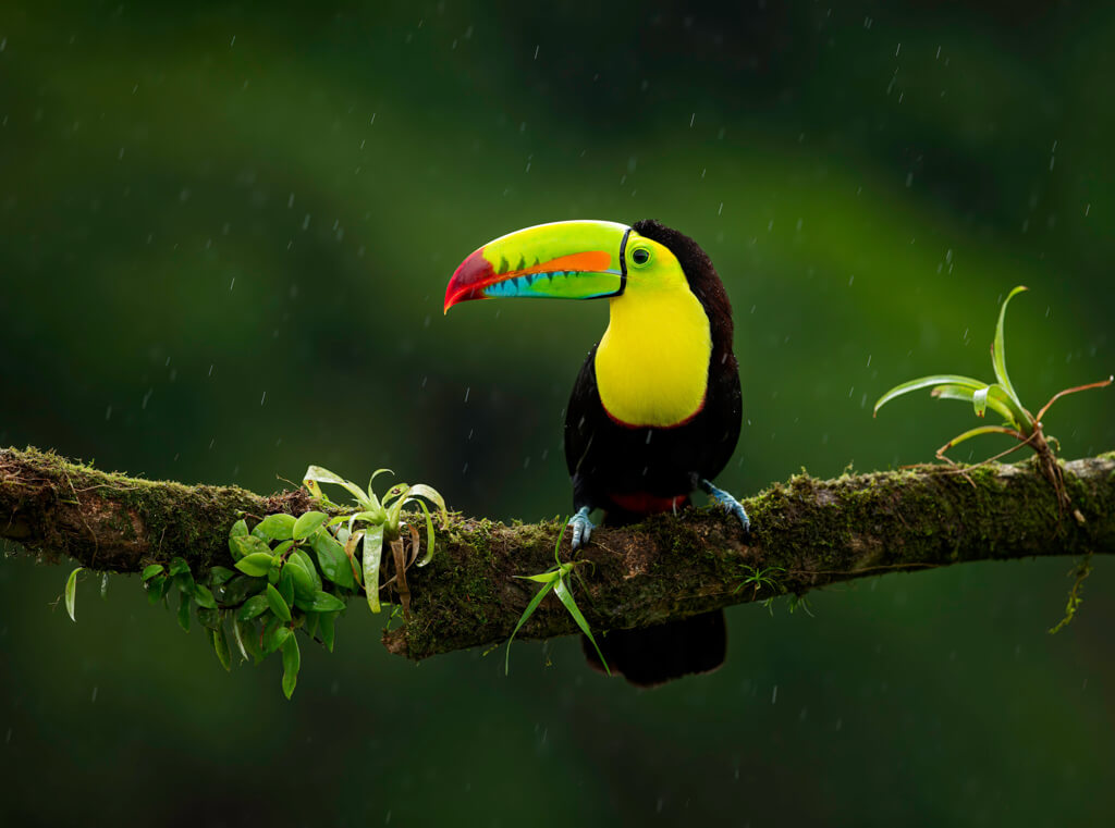 black bird with yellow chest and multi-colored, large beak sitting on a tree branch in the rain