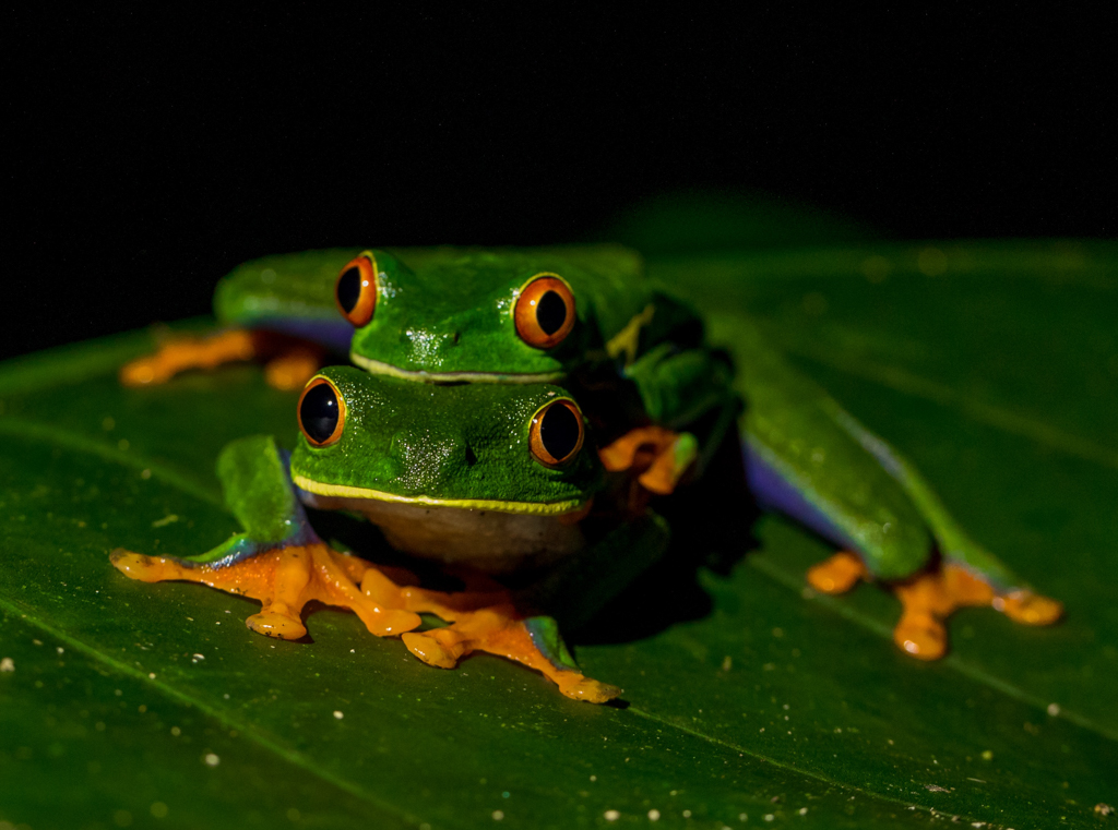 two green frogs with orange webbed feet and orange eyes sitting on top of each other on a green leaf, at night